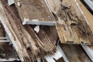 Dampwood Termite Damage - Termites of the pacific Northwest - Termite Extermination - Portland OR Vancouyver WA