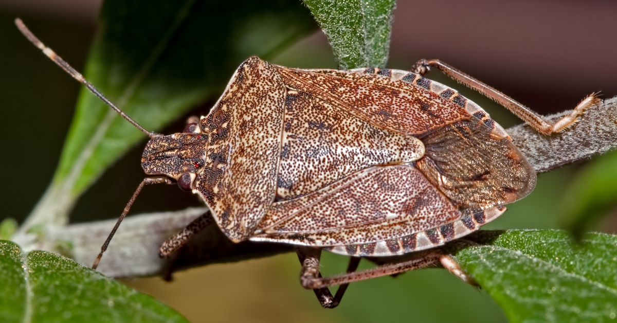 Brown Marmorated Stink Bug - Bloom Pest Control - Portland OR - Vancouver WA
